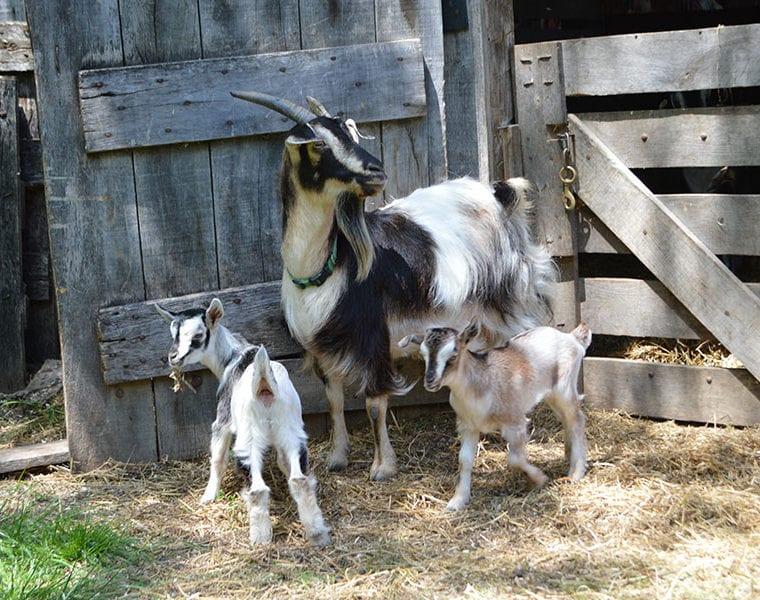 Animal Encounters - Arapawa Goats