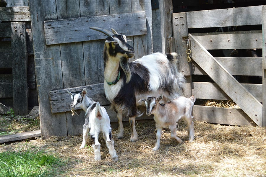 Animal Encounters - Arapawa Goats