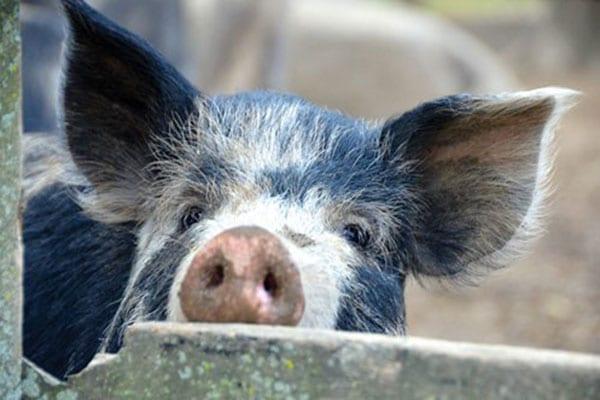 Ossabaw pig