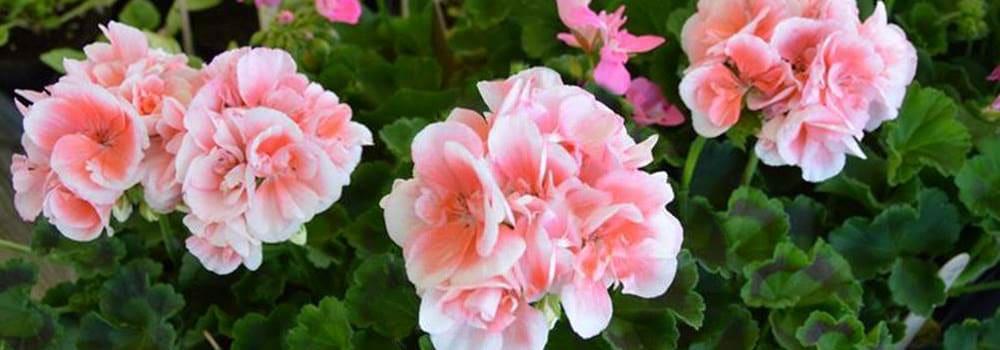Heirloom Plant Sale