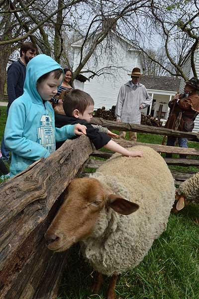 Tunis Sheep