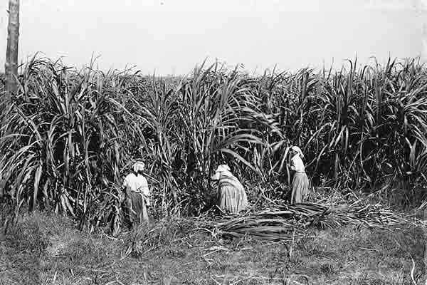 women cutting sugar cane