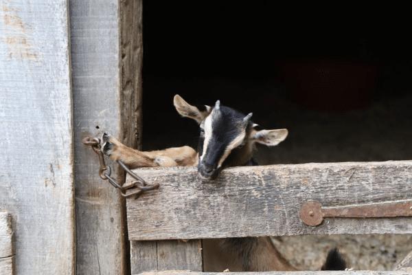 Goat kid in Conner Prairie barn