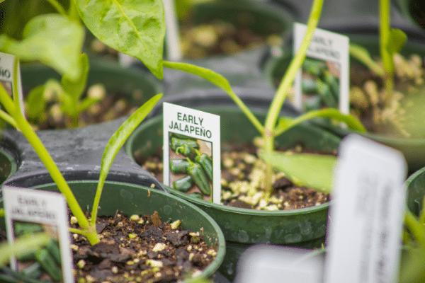 Early Jalapeno plants