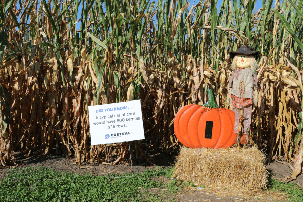 Scarecrow In Front Of Corn Maze